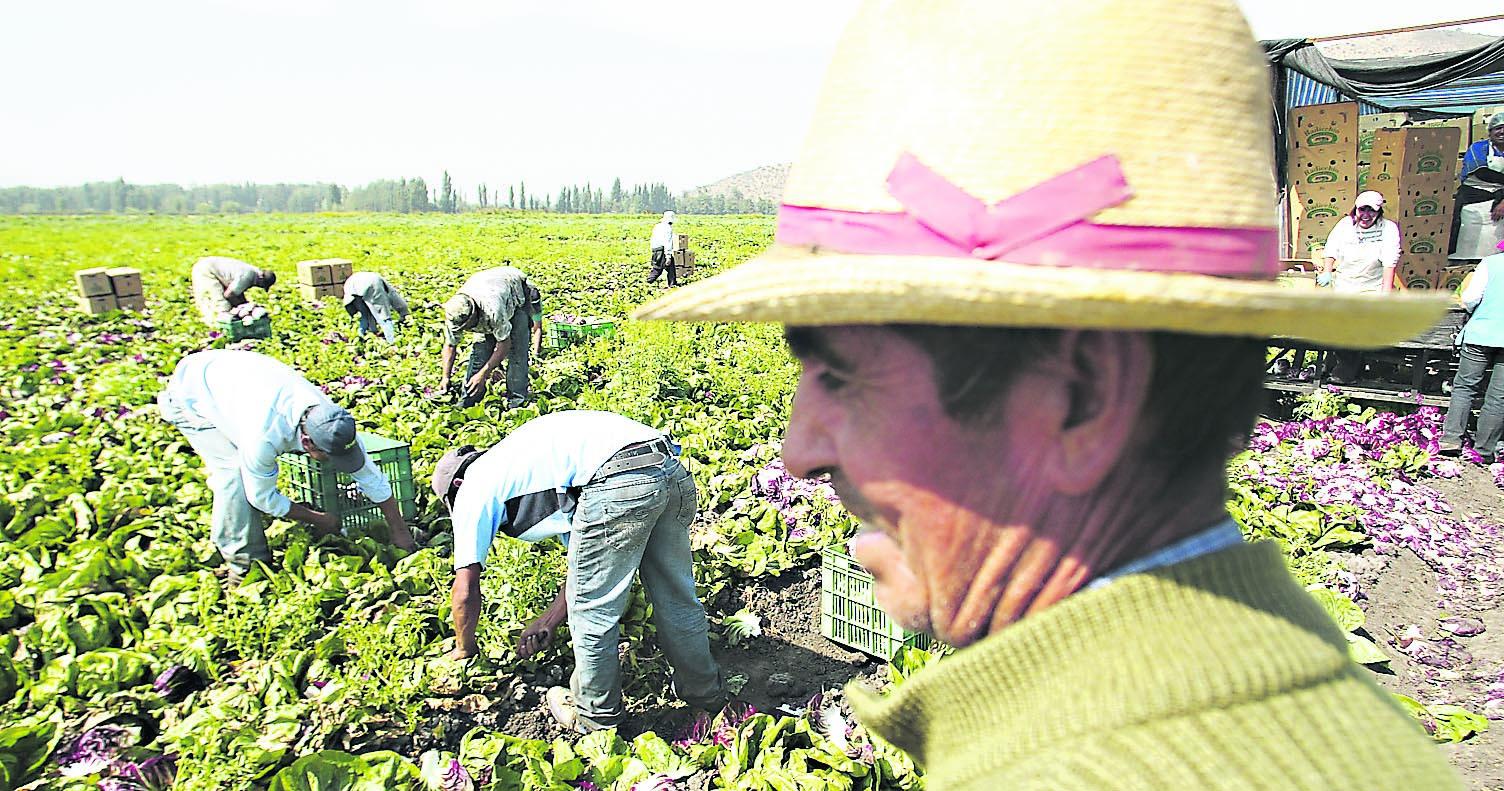 27 de Febrero de 2009  Cosecha de Radicchio en Los Aromos. En la foto agricultores cosechan Radicchio que exportan luego a USA.   Fotos Hector Retamal Correa