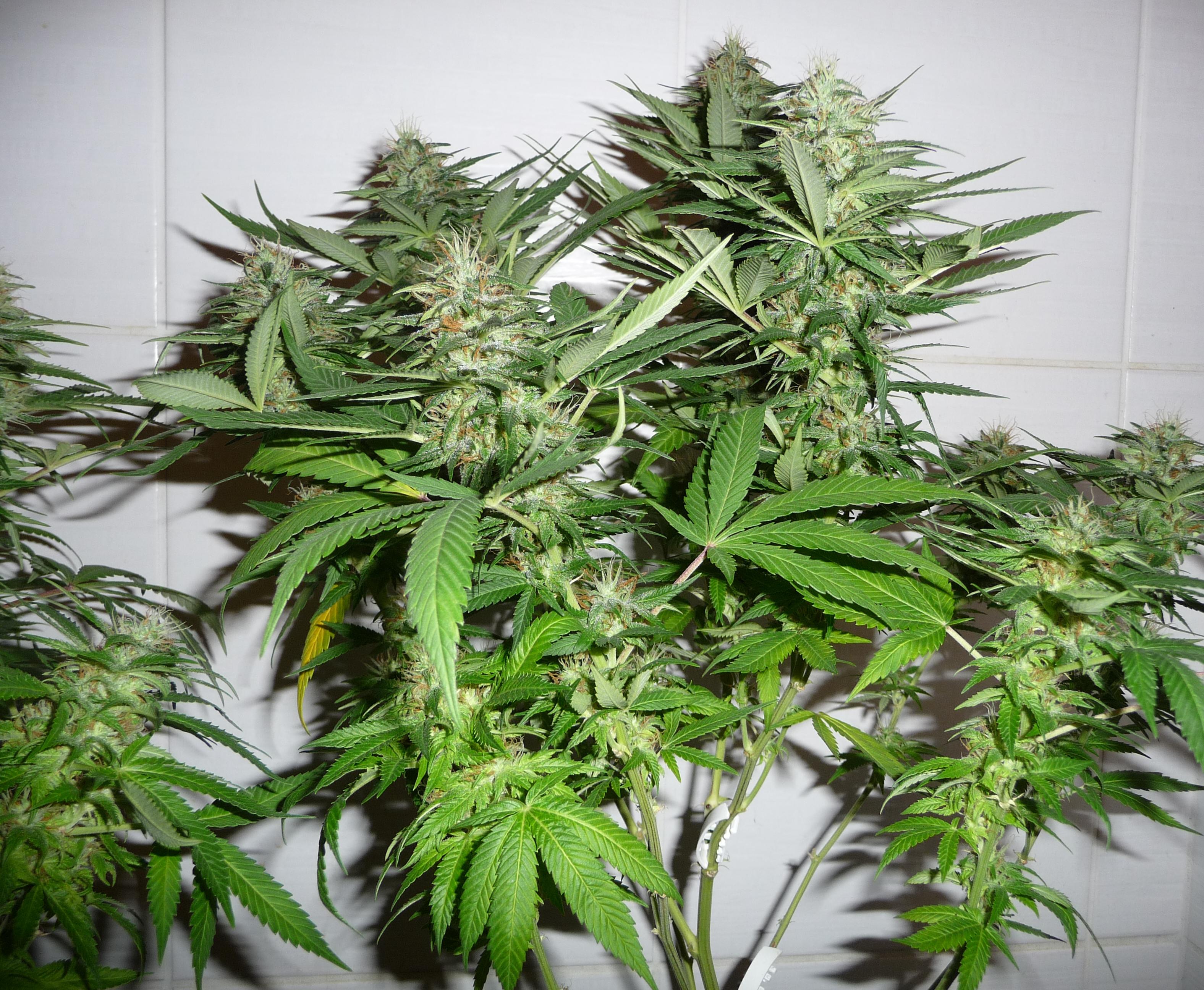 cannabis_sativa-flor